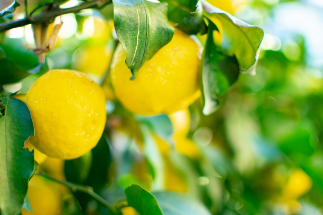 どうして高知は柚子生産が盛ん?その理由とおすすすめの柚子製品3選